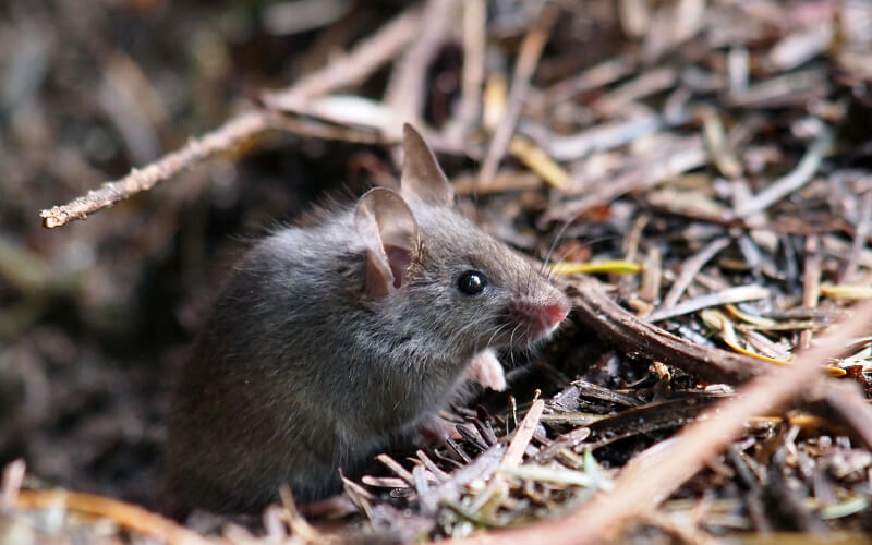 Mice Exterminator in Ashburn, VA