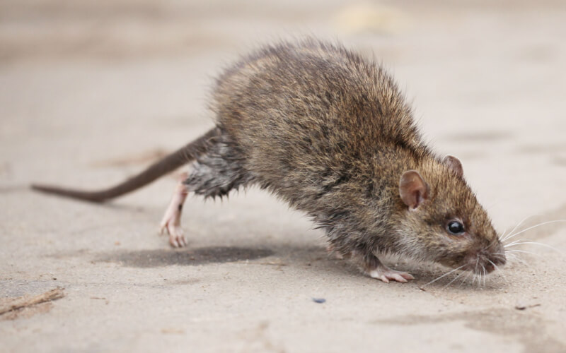 Rat Exterminator in Ashburn, VA