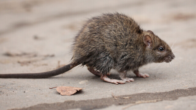Rat Control in Ashburn
